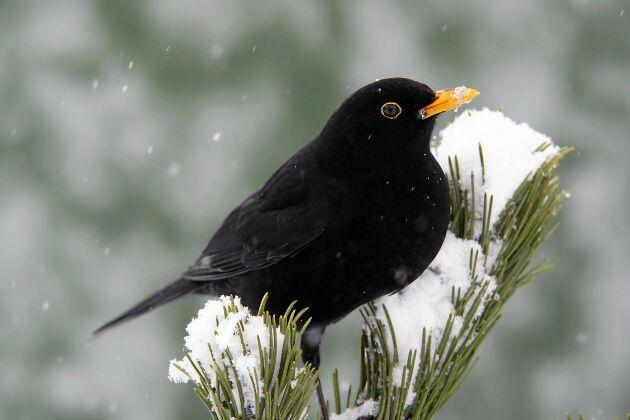 Att få se en koltrast eller någon annan vild fågel är ett sätt att få kontakt med naturen även om man bor i stan.