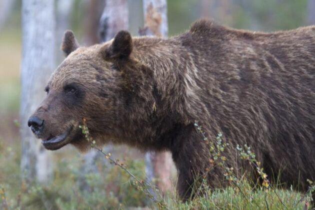 På måndag börjar licensjakten på björn.