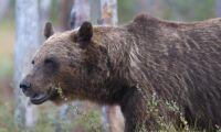 Nu startar björnjakten