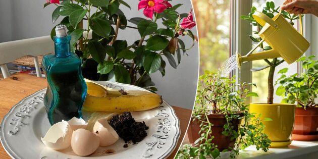 Gör egen krukväxtnäring – av hushållssopor