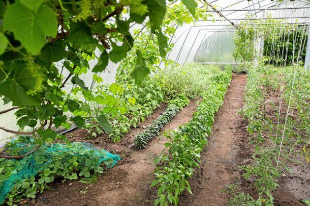 Odling i det 200 kvadratmeter stora växthuset.