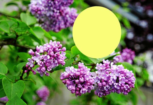 Syrenens lila blommor ger bina byxor i smutsig gulgrönt.