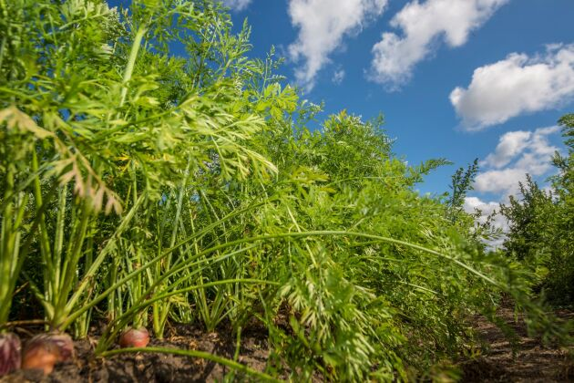 Medan stora delar av lantbruket har det tufft och kämpar med krympande volymer växer trädgårdsnäringen och visar upp rekordhöga produktionsvärden.
