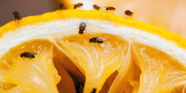 Bli av med bananflugorna i ett nafs – enkel fälla!