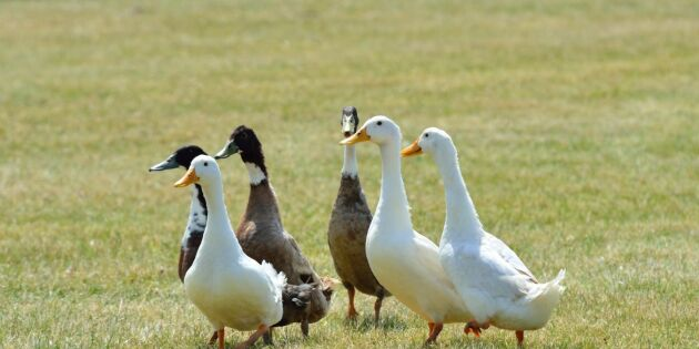 Fågelinfluensa hos fjäderfä i Danmark