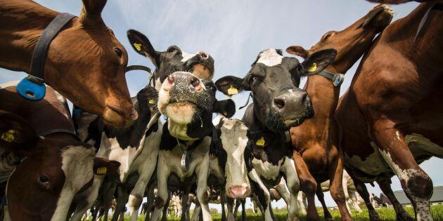Dramatiskt ras för mjölkproduktionen
