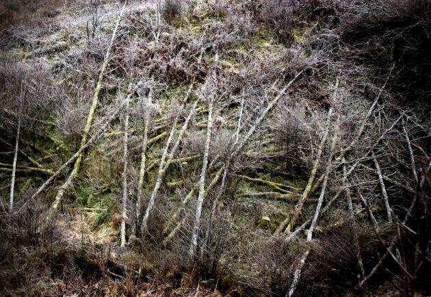Röjningsarbetet tog tid. Här stormfällda träd i närheten av Trollhättan, nästan ett år efter stormen Gudrun.