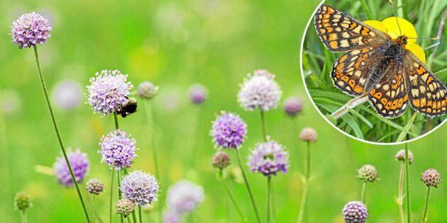 Ängsvädd - räddningen för hotade fjärilar