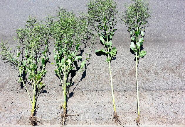 Plantorna till vänster är behandlade på hösten med tillväxtregleraren Caryx, att jämföras med de båda obehandlade plantorna intill.