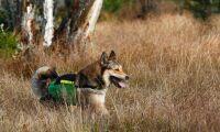 Vargstål skyddar hunden