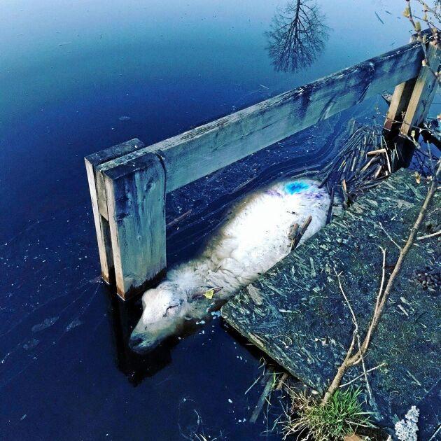 17–18 får hittades döda flytande i åar eller vattensamlingar efter onsdagens vargattack på Molstaberg.
