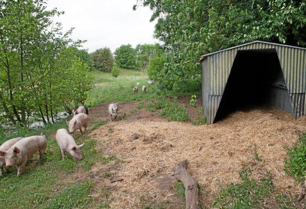 Förutom flera träd och buskar finns ett skjul där grisarna kan söka skydd.