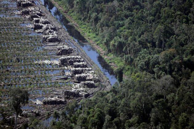 Ett avskogat område med akaciaträd på den indonesiska ön Sumatra. Till höger ses naturlig skog. Arkivbild.