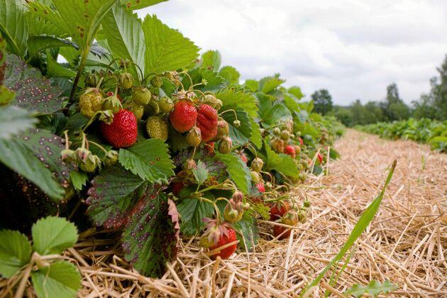 Hallon, björnbär, jordgubbar, körsbär och andra tunnskaliga bär och frukter tillhör suzukiflugans favoriter.