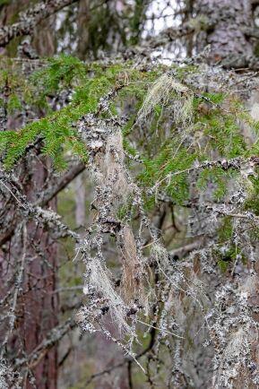 Hängande lavar är ett kännetecken för en skog som fått utvecklas naturligt.