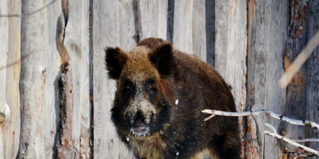 Grisbonde sköt vildsvin i Jämtland