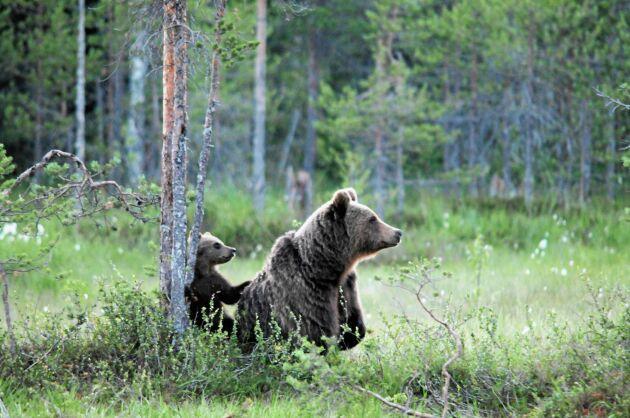 Brunbjörnens ungar flytta hemifrån allt senare – så länge mamma och ungar håller ihop får de inte skjutas.
