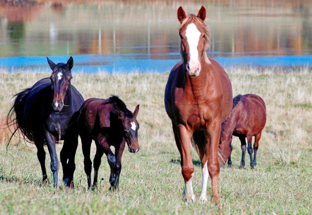 På Björkbackens gård i Kalix driver Ingrid Ragnarsson hästuppfödning. Här finns stora ytor för hästarna att må bra på.