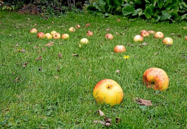 Gräsmattorna fylls av fallfrukt som ägarna inte orkar eller hinner plocka. Men det finns flera sätt att låta frukten komma till användning.