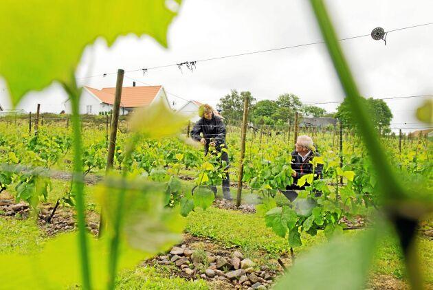 Carl-Magnus Hedin och Marie-Louise Hedin bland druvorna på vingården Villa Mathilda.