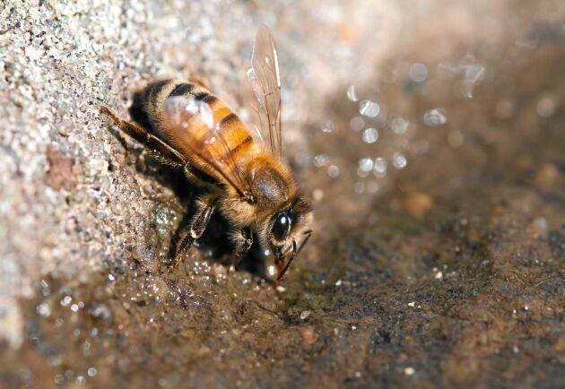 Titta nära när bin kommer och dricker vatten, ett sällsynt tillfälle till närkontakt.