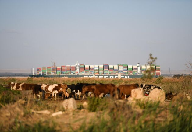 200000 djur, bland annat får och kalvar, finns på skeppen som väntar på att få passera Suezkanalen.