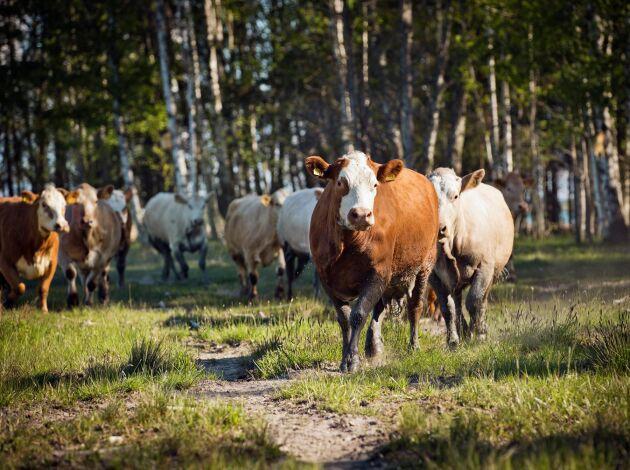 Henrik Nissers ekologiska köttproduktion är baserad på simmental och charolais.