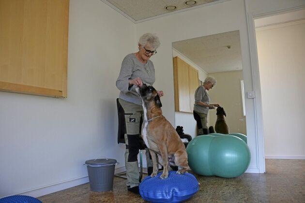 Att träna på diskokudde är en balansövning för hunden som tränar både styrka och stabilitet i bakben men också i bålmuskulatur och framben.