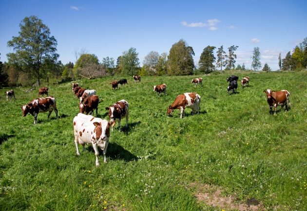 Kor på sommarbete i kohage.