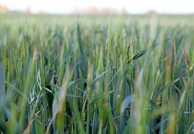 Det ser än så länge bra ut inför årets skördar. Det står runt 600000 hektar höstgrödor och väntar, jämfört med knappt 450000 hektar förra året.