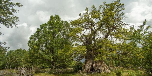 Äldsta eken närmar sig eviga vilan