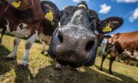 Gotländska kor mjölkar mer