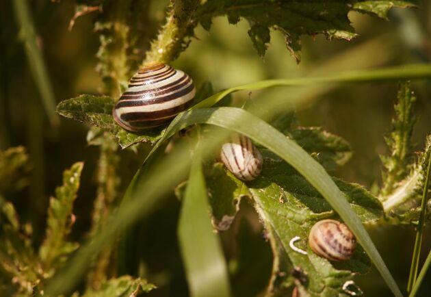 Förutom de gröna växterna inuti området äter sniglarna ett foder baserat på mjöl av majs och säd.
