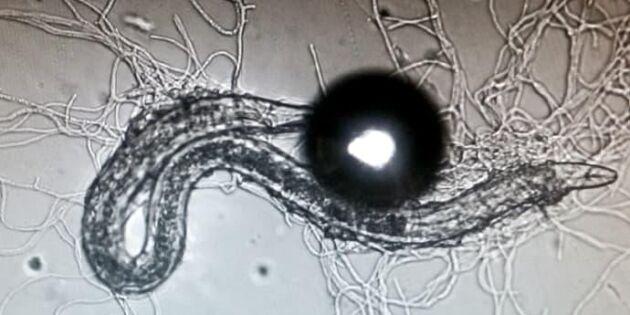Svampparasit kan bekämpa nematod