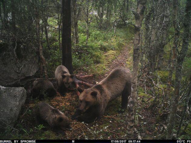 Bilden från en övervakningskamera i Ovansjö visar björnhonan och hennes tre ungar.