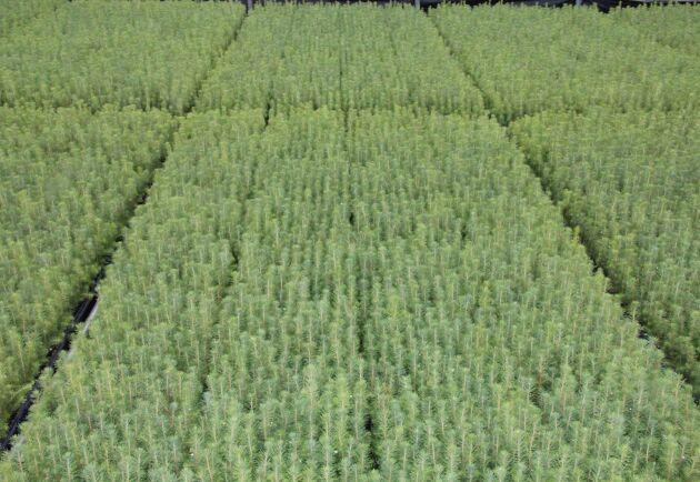 Andelen tallplantor ökar men gran är fortfarande det vanligaste trädslaget, visar statistik från Skogsstyrelsen.