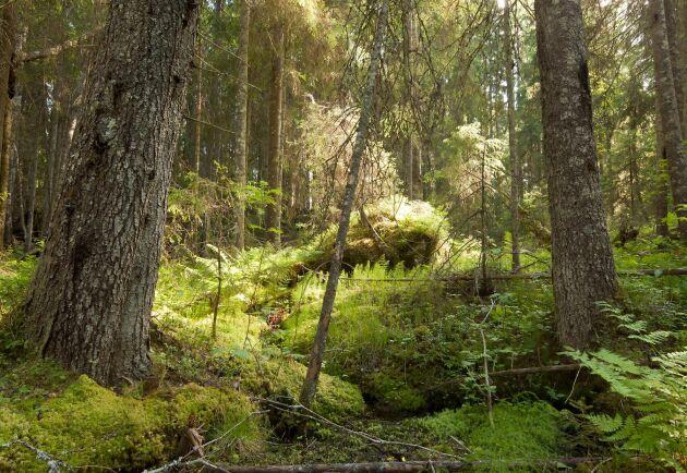 Skogsstyrelsen har fattat beslut om nya och högre krav på nyckelbiotoper i nordvästra Sverige.
