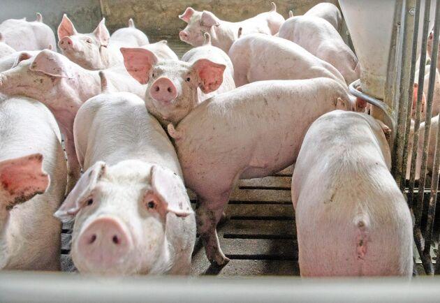 Fler grisar föds upp till slakt i Danmark. Arkivbild