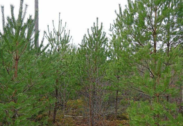 15 000 stammar per hektar står det nu i självföryngringen av tall efter Gudrun. Fast då har det varit hägnat och kompletterat med sådd sedan stormen Per blåste ned fröträden.