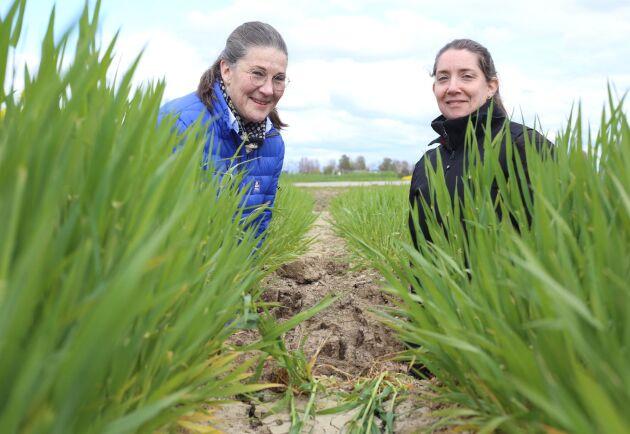 Gunilla Frostgård från Yara och Emma Hjelm från Jordbruksverket står i höstkornet som verkligen tillgodogjort sig höstgödsling.