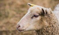 Stulet får avlivat efter misstänkt djurplågeri