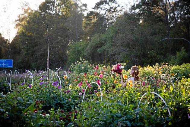 Lovisa ute på den ett halvt hektar stora blomsteråkern.