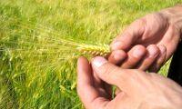 Ny forskning banar väg för ännu nyttigare korn