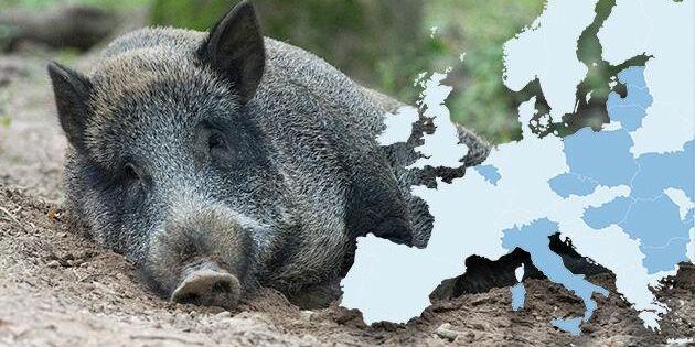 Karta: Så sprider sig fruktade svinpesten