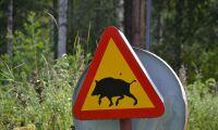 Staten måste ingripa mot vildsvinen