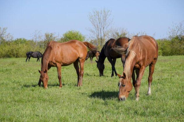 Låter man ett par-tre veckor passera så är det ingen fara att EHV skulle smitta nya hästar som släpps i samma hage.