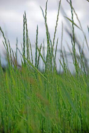 Det perenna vetegräset Kernza på SITES Agroekologiska Fältexperiment (SAFE) på SLU vid Lönnstorp i Skåne. Sorten är varumärkesskyddat av Land institute i USA som förädlat fram det ur vilda gräsarter. Det finns flera andra parallella utvecklingslinjer i världen.