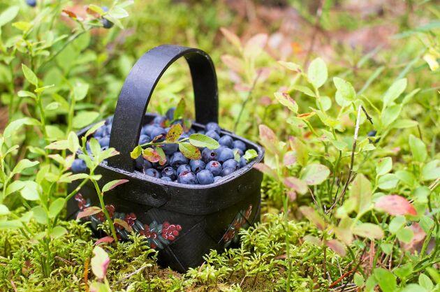 Flera vetenskapliga studier visar att blåbär är bra för hälsan.