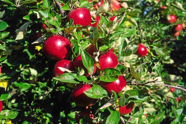 Ett gott egenodlat äpple, vem vill slänga det? Ingen!