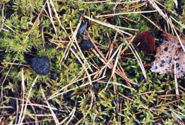 Aska spridd i skogsmark (de små svarta bitarna på bilden). FOTO: ROLF SEGERSTEDT